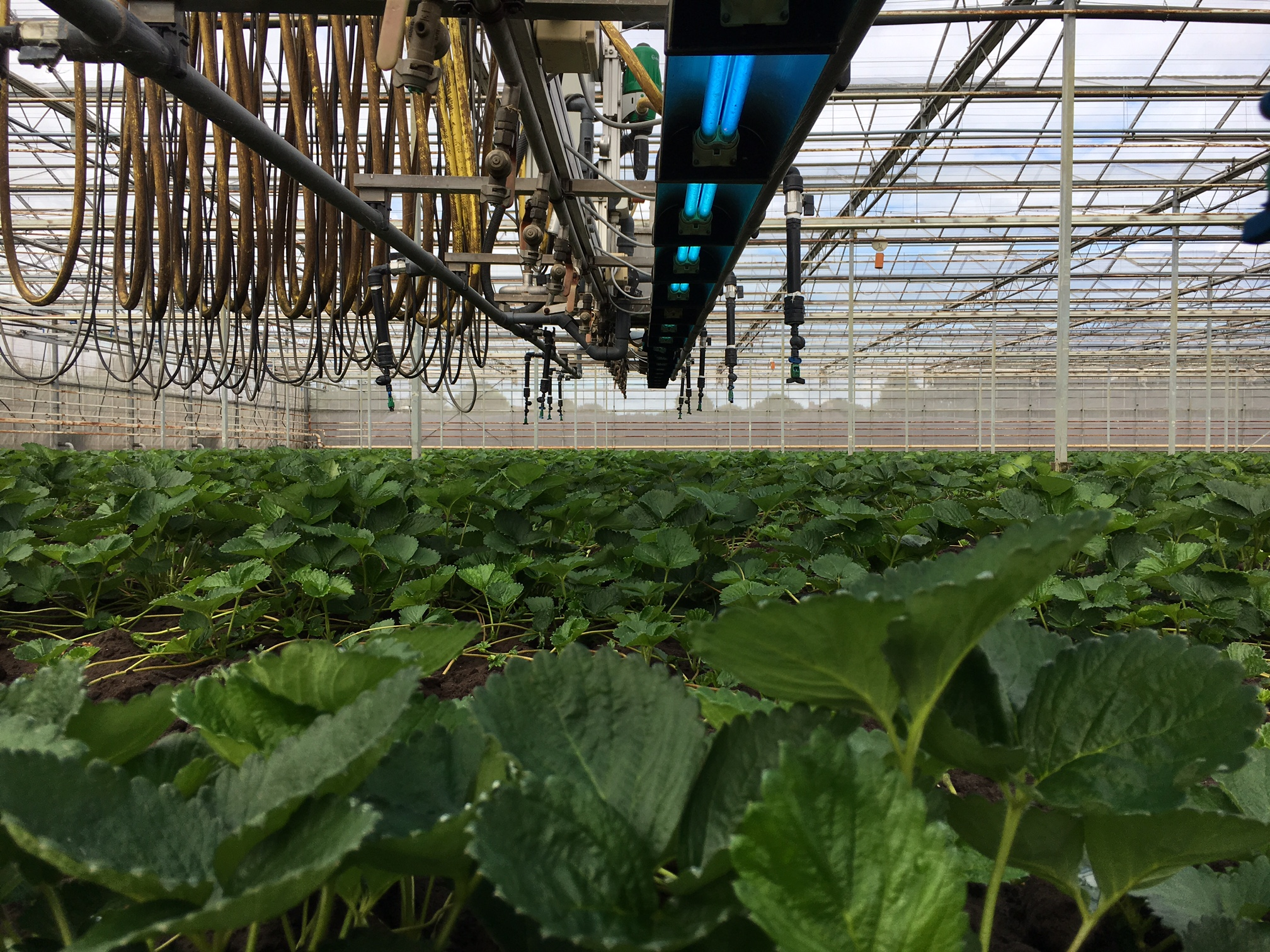 Resilient strawberry plants without mildew