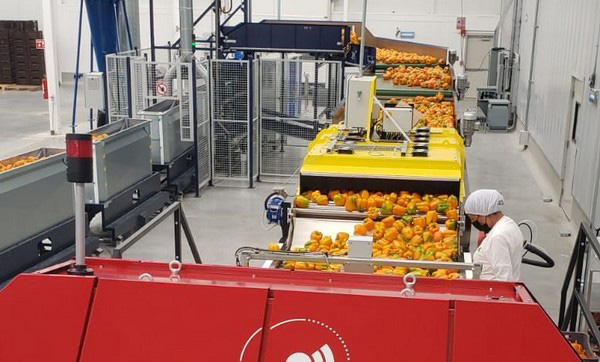 Return of stem rot in peppers brings UV technology back into the picture